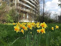 Daffodils in Meath Gardens woodland area