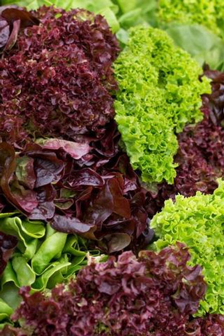 Organic Frilly Lettuce