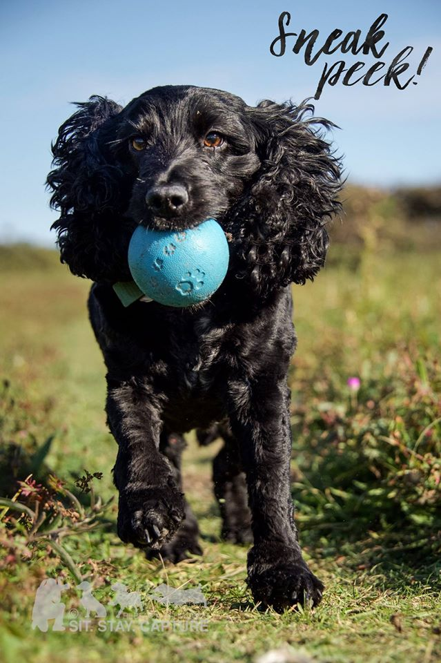 Cocker Spaniel Dog at Druridge Bay