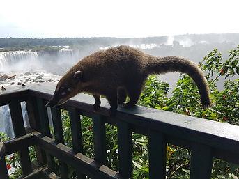 Coati Cataratas de Iguazu Argentina