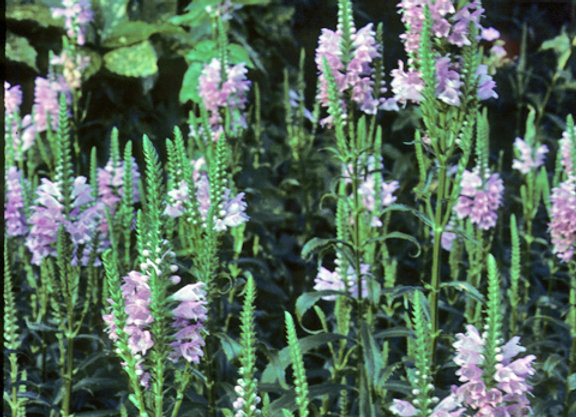 """Physostegia """"Pink Manners"""""""