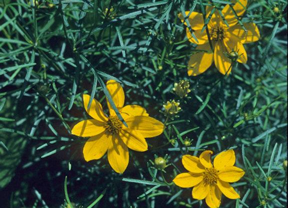 Coreopsis verticilata