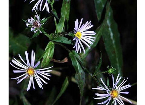 Aster/Symphyotrichum novi-belgii