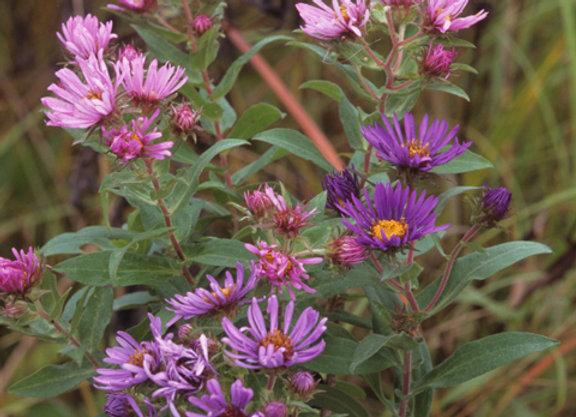 Aster/Symphyotrichum novae-angliae