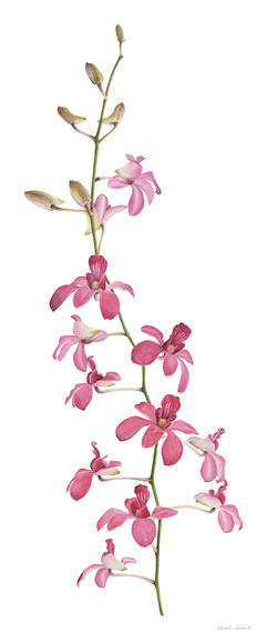Nikita Coulombe-Pink Orchids I