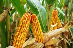 High Yielding Corn