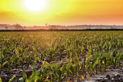Sunset with corn