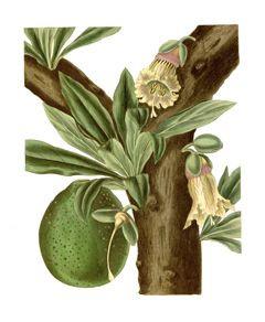 Botanical-drawing-calabash-tree-fruit-and-flowers