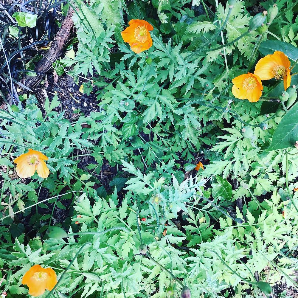 bright-orange-welsh-poppies