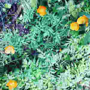 bright-orange-welsh-poppies
