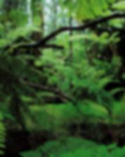 Kalabash rainforest.png