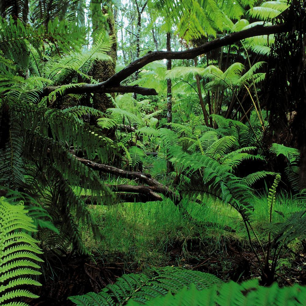 tree-ferns-in-Dominica-rainforest