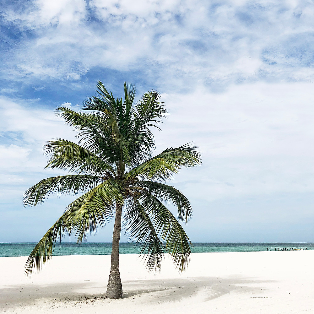 large-palmtree-on-white-sand-caribbean-beach-blue-sky