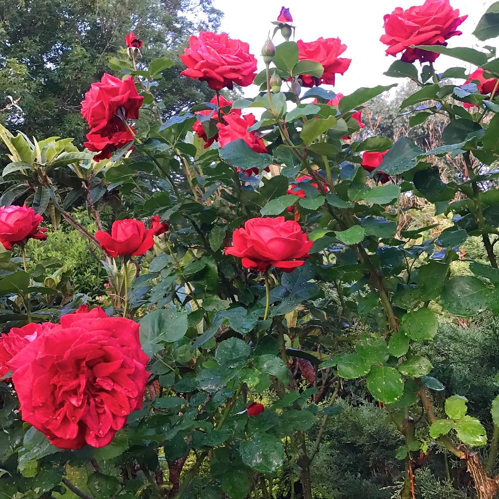 red-rose-bush-in-garden