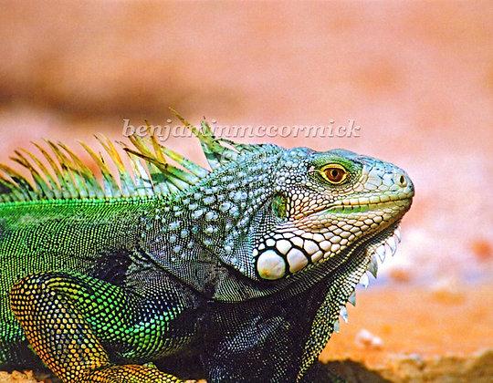 Iguana de Vieques