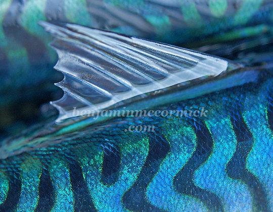 Mackerel Backs