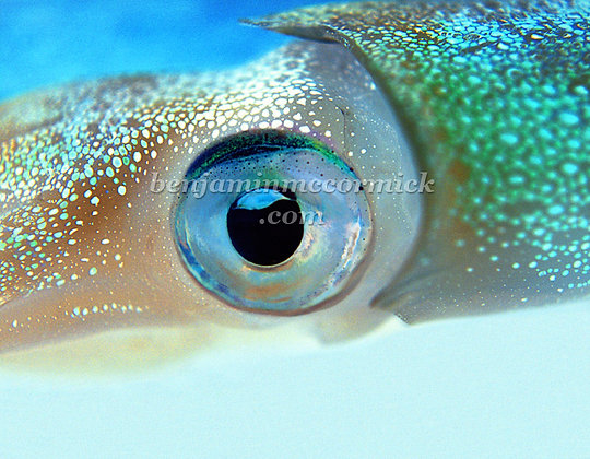 Squid Eye