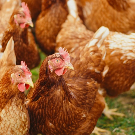 Poultry keepers urged to be vigilant after avian influenza case found in the Moorlands
