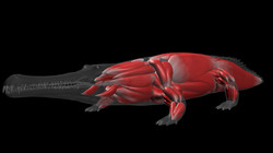 Crocodile Muscle Setup 45