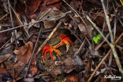 Halloween Crab. Manuel Antonio, CR