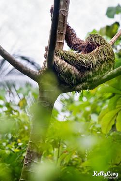 Sloth. Manuel Antonio, CR