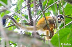 Squirrel Monkey.Corcovado, CR