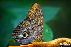 Owl Butterfly. Montezuma, Costa Rica