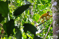 Squirrel Monkey Family.Corcovado, CR