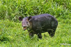 Tapir. Corcovado, Costa Rica