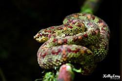 Eyelash Viper Snake. Corcovado, CR