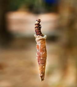 Catterpillar. Angkor Wat, Cambodia