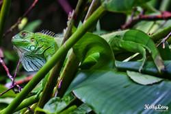 Iguana. Manuel Antonio, Costa Rica