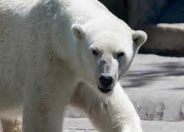 How to Stop Thinking About the Polar Bear