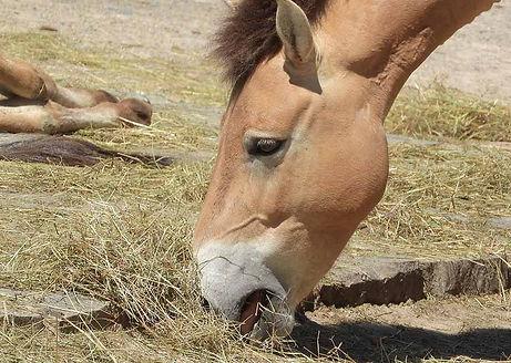 Pferd mit Heu.jpg