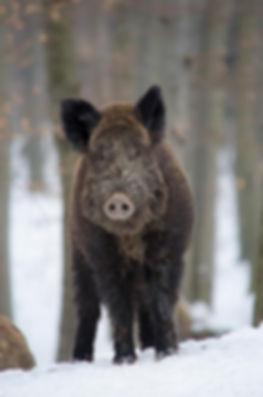 boar-3240210_1920.jpg