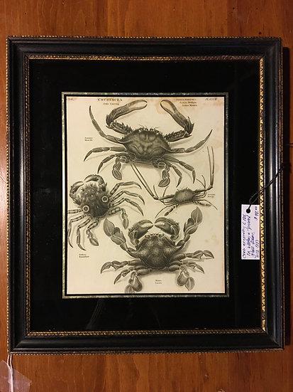 1800's Framed Crab Engraving