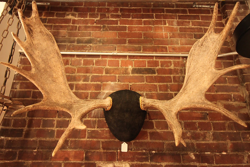 SOLD - Mounted Moose Antlers