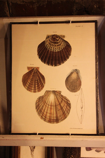 Hand-Colored Scallop Book Plate
