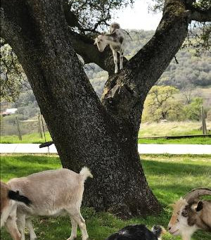 Shoe laces and goats in trees