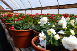 A lineup of Nonstop Begonias
