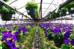 Full Petunia Greenhouse