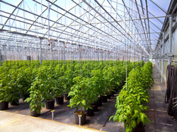 Greenhouse Tomato Rows