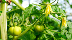 April Tomatoes Macro