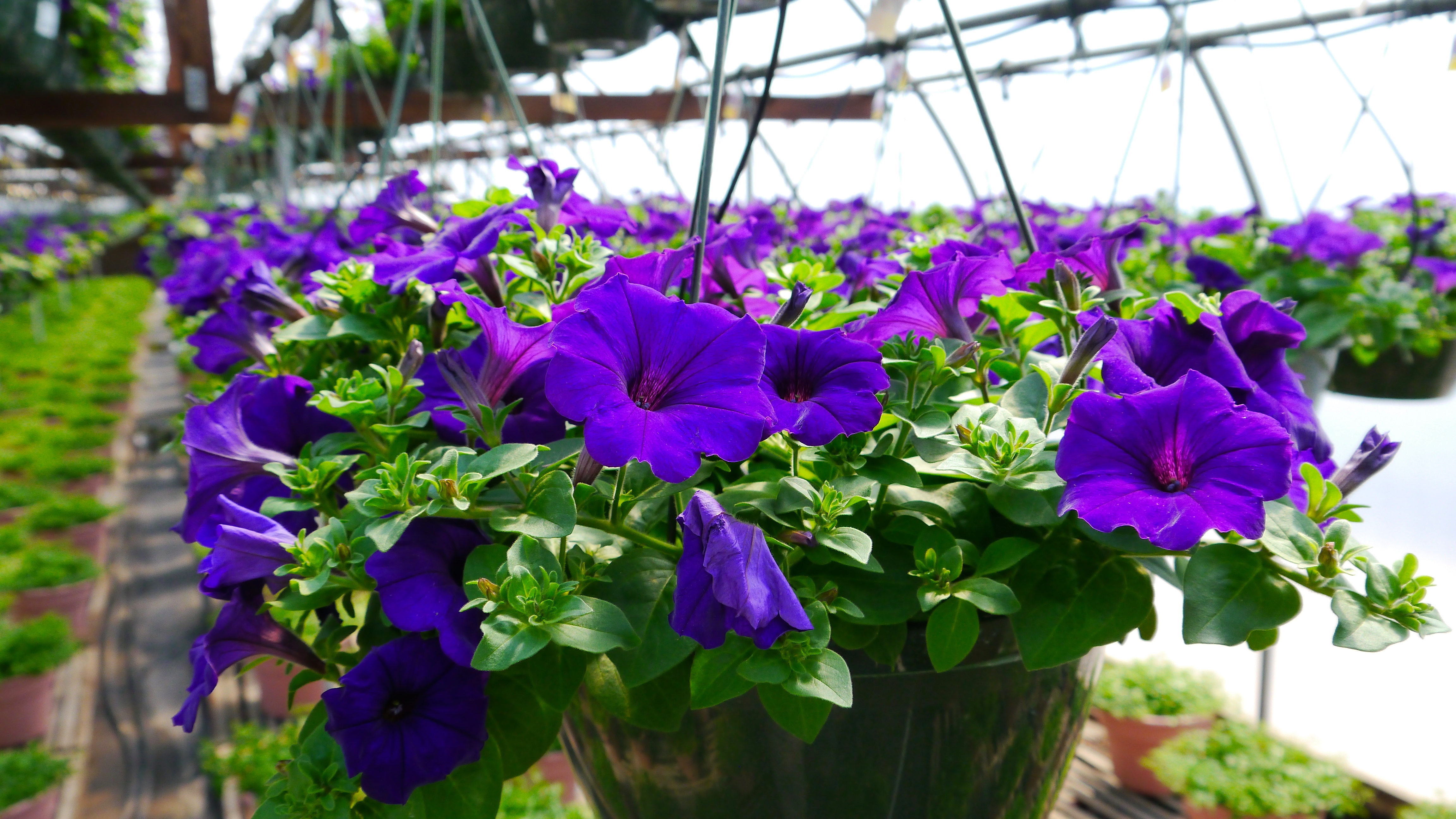 Petunia Greenhouse