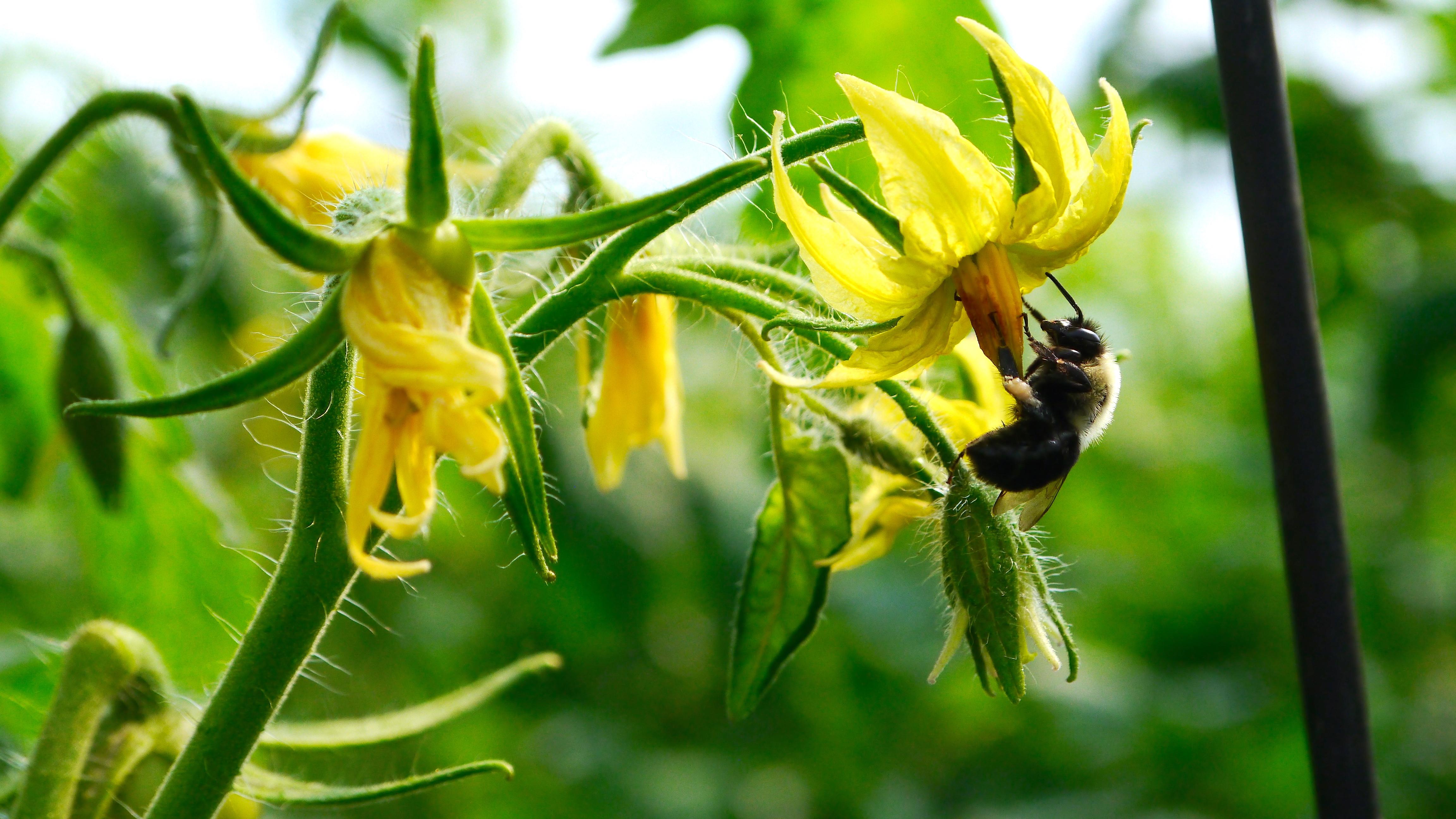 Bee Pollination Macro