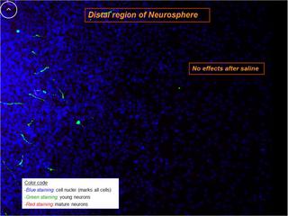 Ayahuasca lässt neue Gehirnzellen wachsen