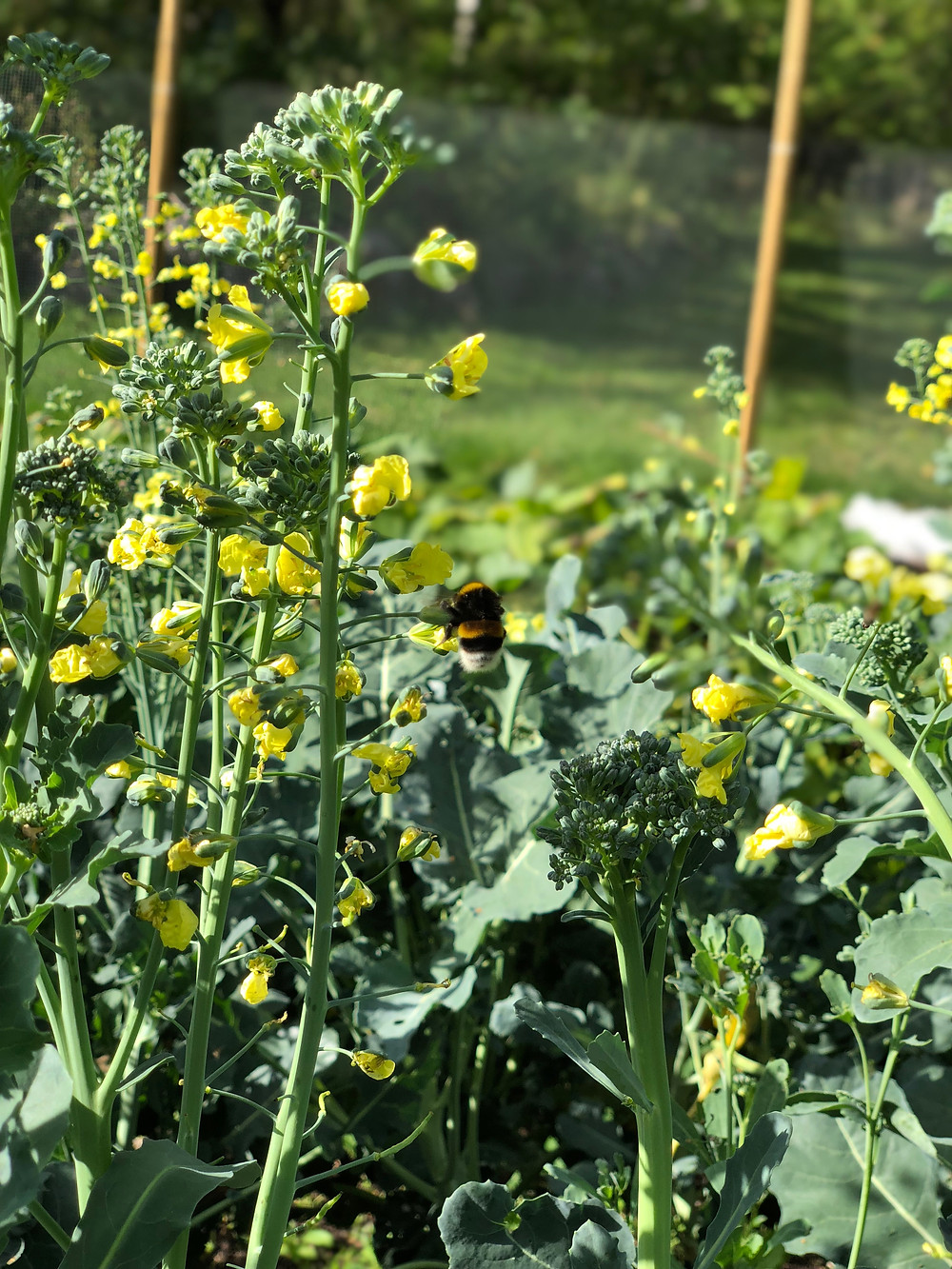 Bumblebees and broccoli