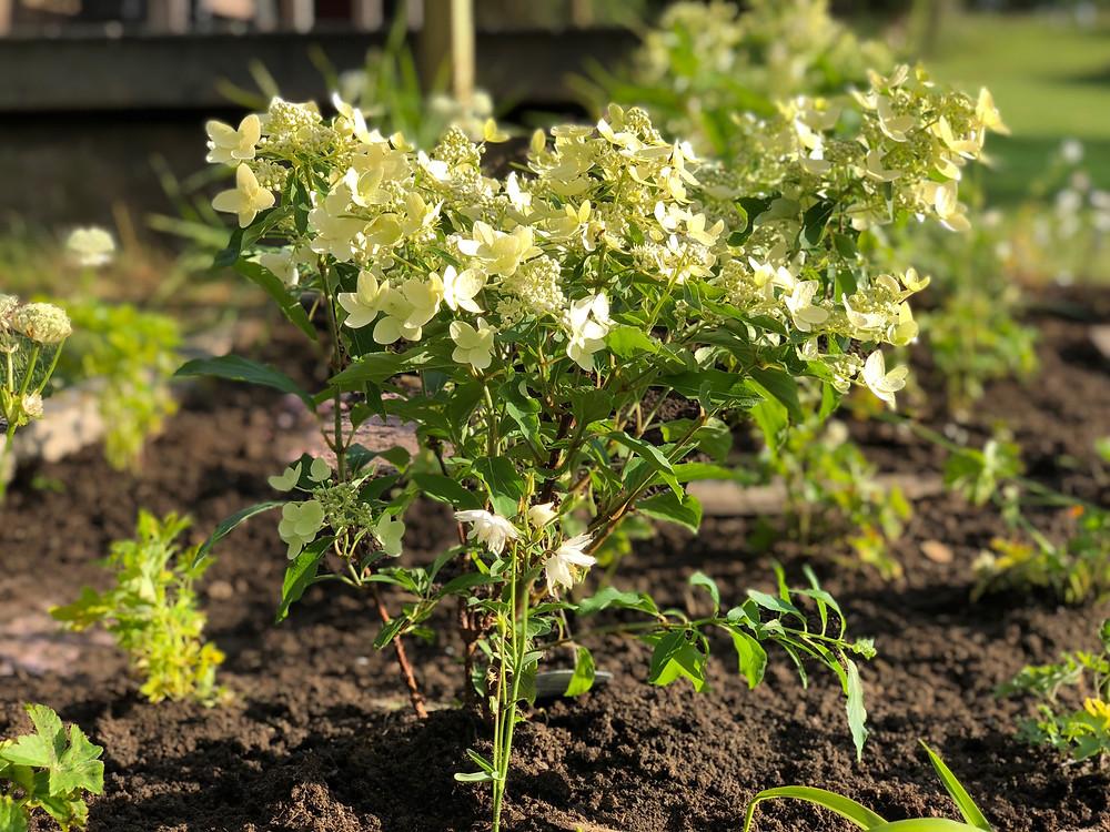 "Hydrangea paniculata ""Praecox"""