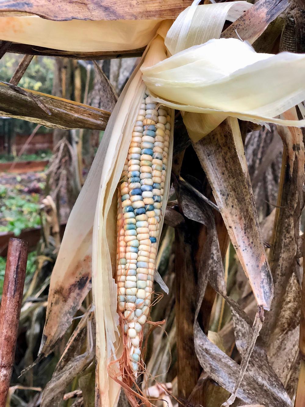 Crazy corn