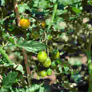 Yellow Mini tomatos